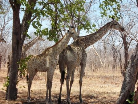 giraffen in chobe
